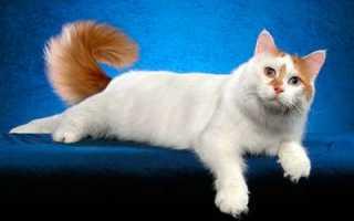 Анатолийская кошка: особенности внешнего вида породы, уход и содержание кота, характер и повадки