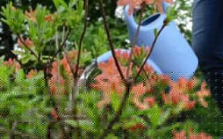 Рододендрон, посадка и уход в открытом грунте