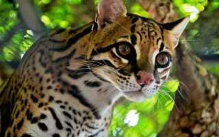 Оцелот: внешний вид, описание кошки, особенности содержания в домашних условиях