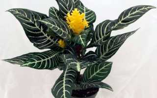 Афеландра: все нюансы ухода за цветком в домашних условиях + фото и видео