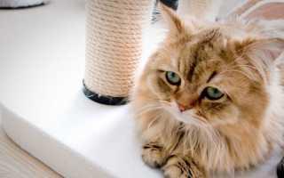 Стоматит у кошек (гангренозные и прочие): симптомы и лечение в домашних условиях