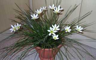 Зефирантес: все нюансы ухода за цветком в домашних условиях + фото и видео