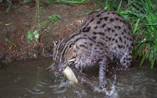 Виверровый кот-рыболов: описание, среда обитания, характер, содержание в домашних условиях