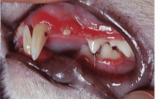 Красные десны у кошек: симптомы, фото покраснений вокруг зубов, диагностика и лечение