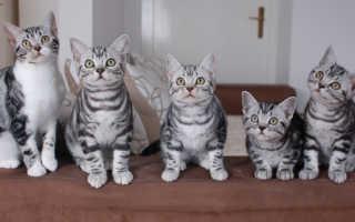 Американская короткошерстная кошка: описание породы, особенности характера и поведения