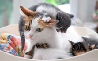 Сколько длится беременность у кошек, от чего зависит срок вынашивания котят