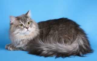 Хайленд-страйт: шотландская длинношерстная прямоухая кошка, описание породы