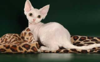 Гипоаллергенные породы кошек: виды, фото, выбор питомца и правила содержания