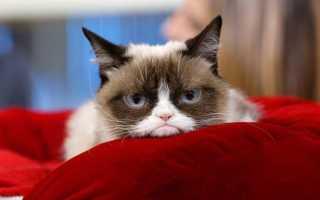 Грампи Кэт (Grumpy Cat): причины необычного внешнего вида грустного кота и история популярности