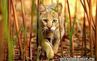 Камышовый кот: описание внешнего вида, характера, образа жизни, фото кошки