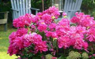 Чем удобрять пионы осенью для здоровья и пышного цветения весной: народные и магазинные средства