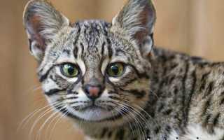 Кошка Жоффруа: описание, образ жизни и характер, содержание в домашних условиях, фото