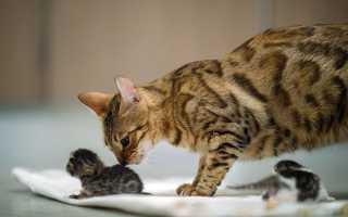 Как принимать роды у кошки в домашних условиях: как принять, если она рожает первый раз