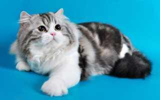 Шотландская вислоухая кошка: характер, описание породы, чем кормить, как выбрать котенка