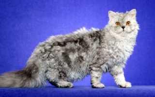Селкирк рекс: описание породы, уход и содержание, фото, разведение котов