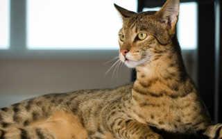 Кошка ашера: происхождение породы, внешние особенности, фото кота, условия