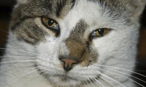 Третье веко у кошек: что это такое, фото, причины его воспаления