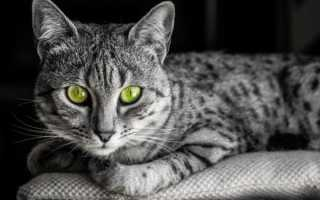 Кошка египетская мау: фото породы, описание, характер и повадки, как выбрать котят