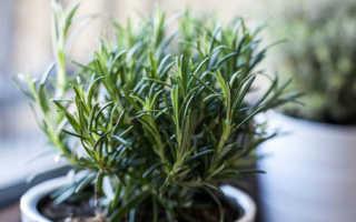 Выращивание розмарина в квартире: посадка, уход и другие нюансы