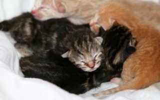 Когда котята начинают есть самостоятельно: особенности питания новорожденных