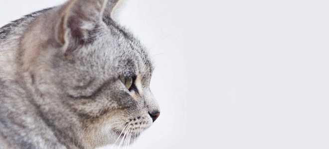 Мраморная кошка: где обитает, внешний вид, характер и повадки, фото