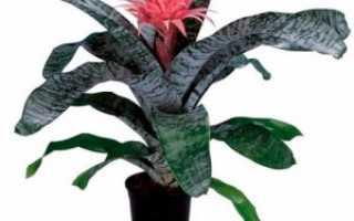 Эхмея: все нюансы ухода за цветком в домашних условиях + фото и видео