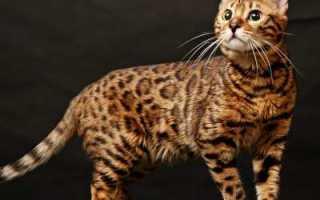 Бельгийская (бенгальская кошка): описание породы, характер и повадки, содержание и уход