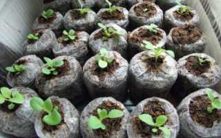 Выращивание петунии в торфяных таблетках: поэтапная инструкция по посадке и уходу+ фото и видео
