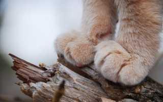 Сколько пальцев у кошки на задних и передних лапах при нормальном анатомическом строении