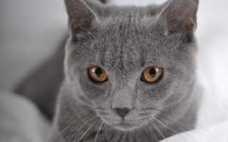 Картезианская кошка шартрез: описание породы, характер и воспитание, содержание и уход