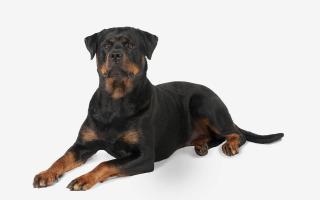Самые дорогие собаки в мире: ТОП 10