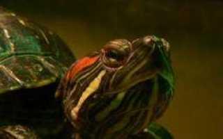 Как ухаживать за красноухой черепахой в домашних условиях + видео