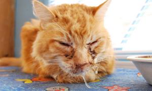 Хламидиоз у кошек: симптомы, опасность для животного и человека