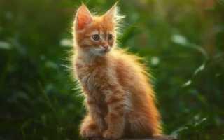 К чему снится рыжий кот или кошка по соннику: описание различных снов
