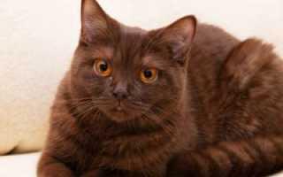 Йоркская шоколадная кошка: описание внешнего вида, характер и поведение, уход и кормление