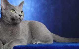 Кошка русская голубая: описание породы, фото, особенности ухода и содержания