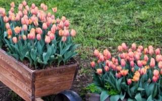 Посадка тюльпанов весной: когда и как посадить правильно в открытый грунт и горшки