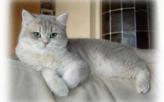 Шотландская прямоухая кошка скоттиш-страйт: описание породы с фото, характер и особенности ухода