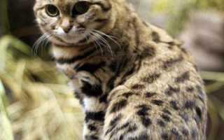 Черноногая кошка: образ жизни и среда обитания, отличительные особенности