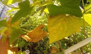 Чем подкормить огурцы в открытом грунте, если желтеют листья и в других случаях
