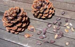 Как чистить кедровые орехи в домашних условиях – разные способы чистки этих орешков от скорлупы