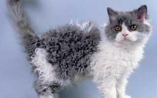 Кудрявые коты: список и описание пород, уход и содержание кошек, фото, как выбрать котенка
