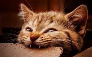 Когда у котят меняются зубы, в каком возрасте происходит смена молочных на постоянные