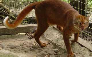 Калимантанская кошка: внешний вид, среда обитания, образ жизни, фото