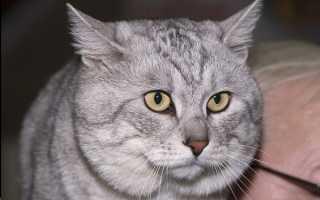 Курильский бобтейл: фото, описание породы, характер и поведение кошки, отзывы хозяев кота