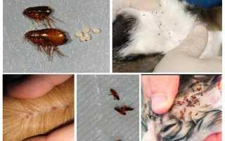 Как вывести блох у кошек и котов в домашних условиях: как избавиться от них у котят и взрослых животных