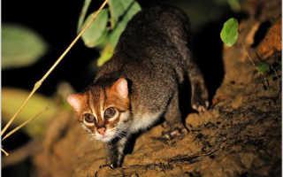 Суматранская кошка: описание вида, характер и повадки, среда обитания, фото