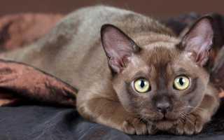 Бурманская кошка: описание внешнего вида породы и характера, фото бурмы, выбор котенка