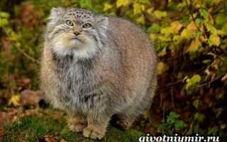 Степной кот: образ жизни, среда обитания, содержание в неволе, размножение и питание кошки
