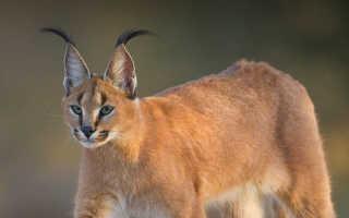 Каракал пустынная рысь: описание и фото породы, содержание и уход